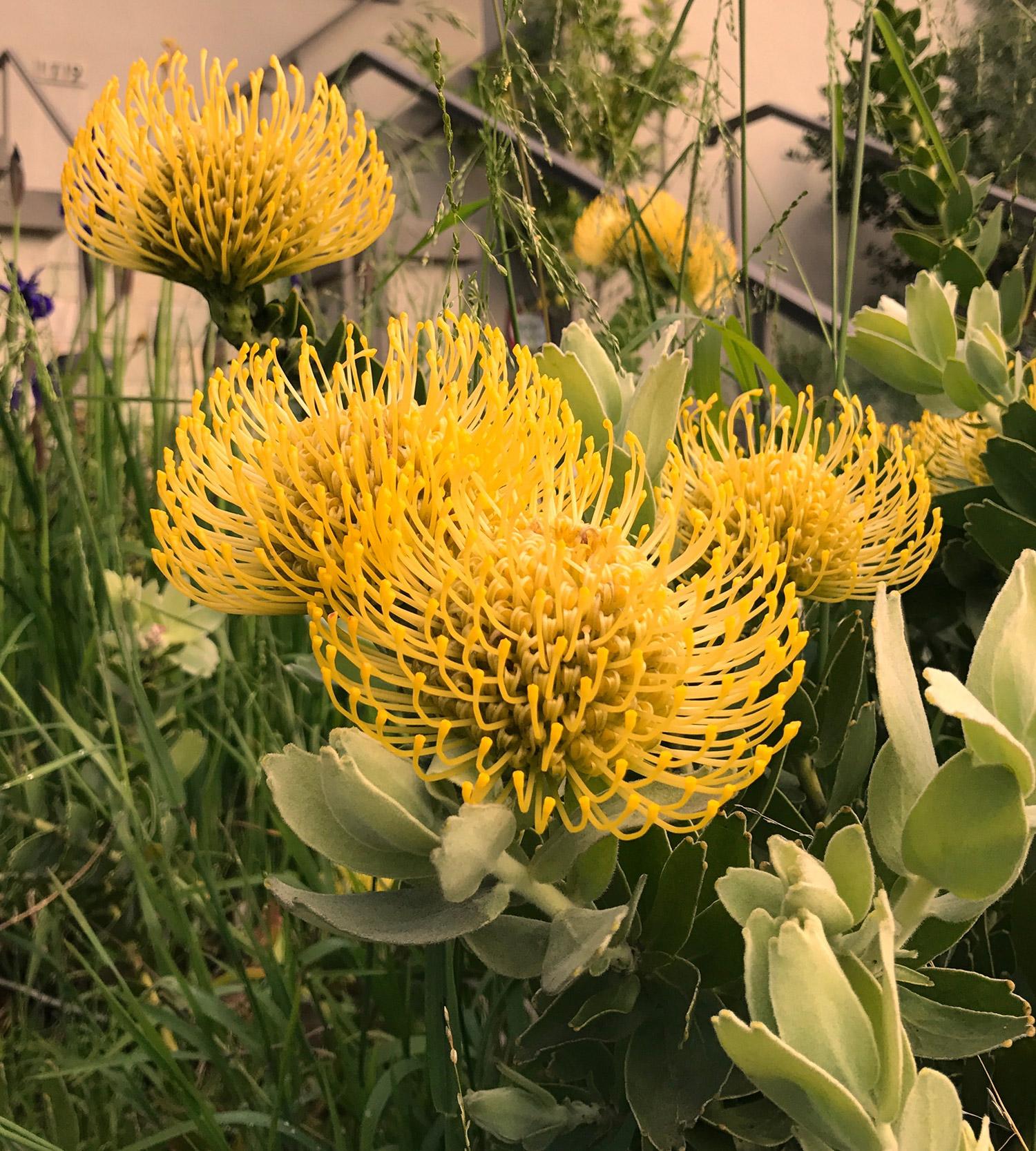 yellow-flowers-in-berkeley-ca-photo-by-kathryn-beam-troxler-IMG_1539.jpg