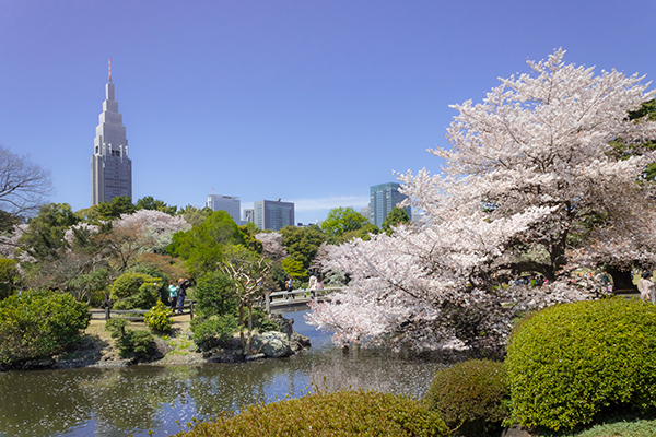 Shinjuku skyscrapers acts as a perfect backdrop for cherry blossoms in Shinjuku Gyoen National Garden. Image source:  Kakidai  under cc license.