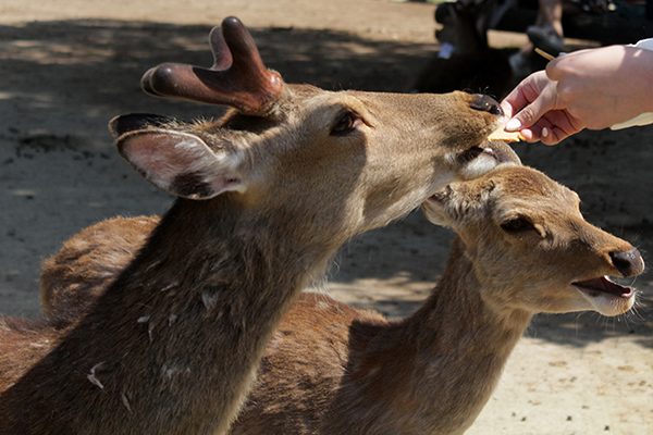 A deer eating a deer cracker out of my hand. Image Source: Author's Own Image.