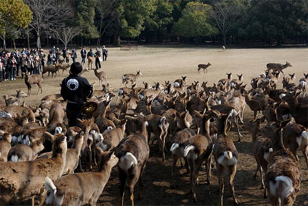 There are many deer in Nara Park. Image Source: Used under cc license.