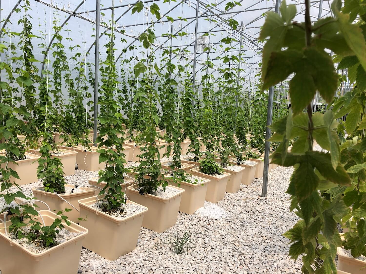 Texas hops grown hydroponically