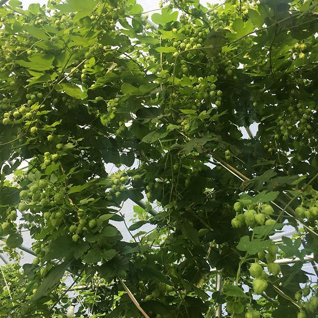 The Zeus is loose!! Second year Zeus is looking amazing. Sooo close to first harvest. Coming soon to a brew near you. Cheers!!!! ......#texashops #hops #craftbeer #atx #happy #hopfarm #hydroponics #beer #wethop