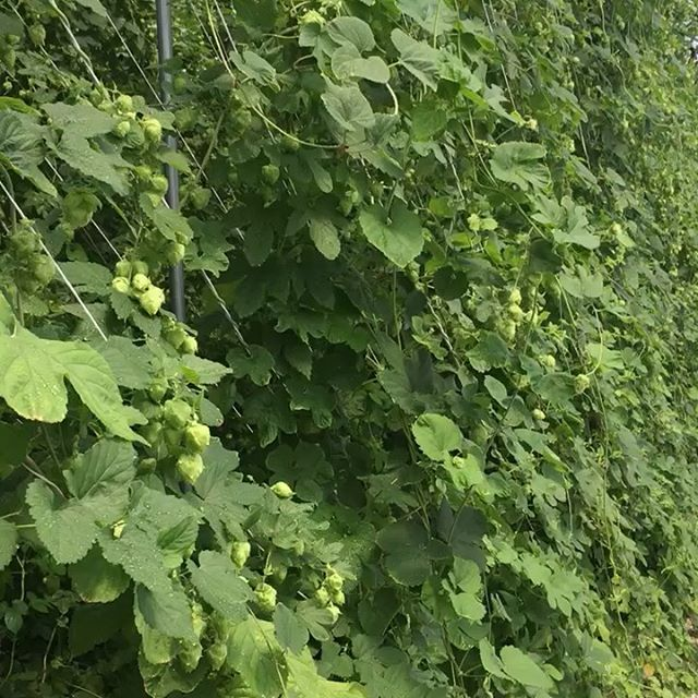 A wee video of our beautiful babies. It's almost pickin' time. Also, a beautiful new sign courtesy of @notbobcostas  #texashops #hops #craftbeer #atx #happy #hopfarm #hydroponic #beer #localatx