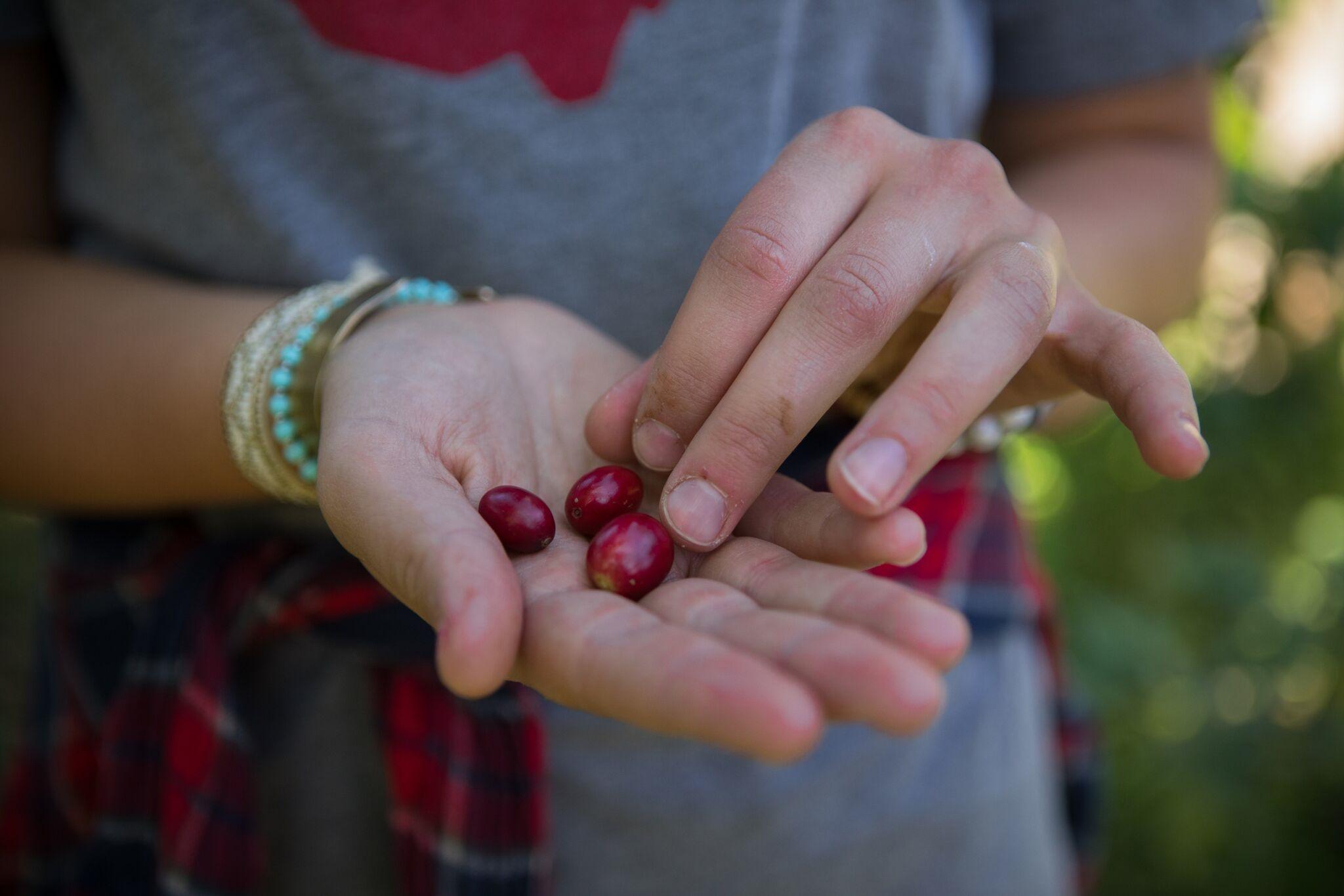 morgans coffee cherries hehe.jpg