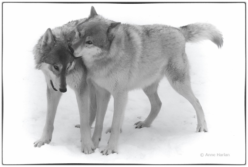 Wolf Whispers.jpg