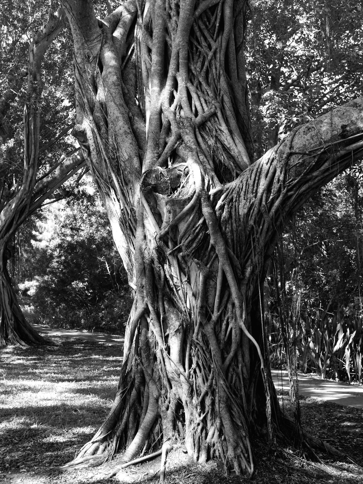 banyon tree.jpeg