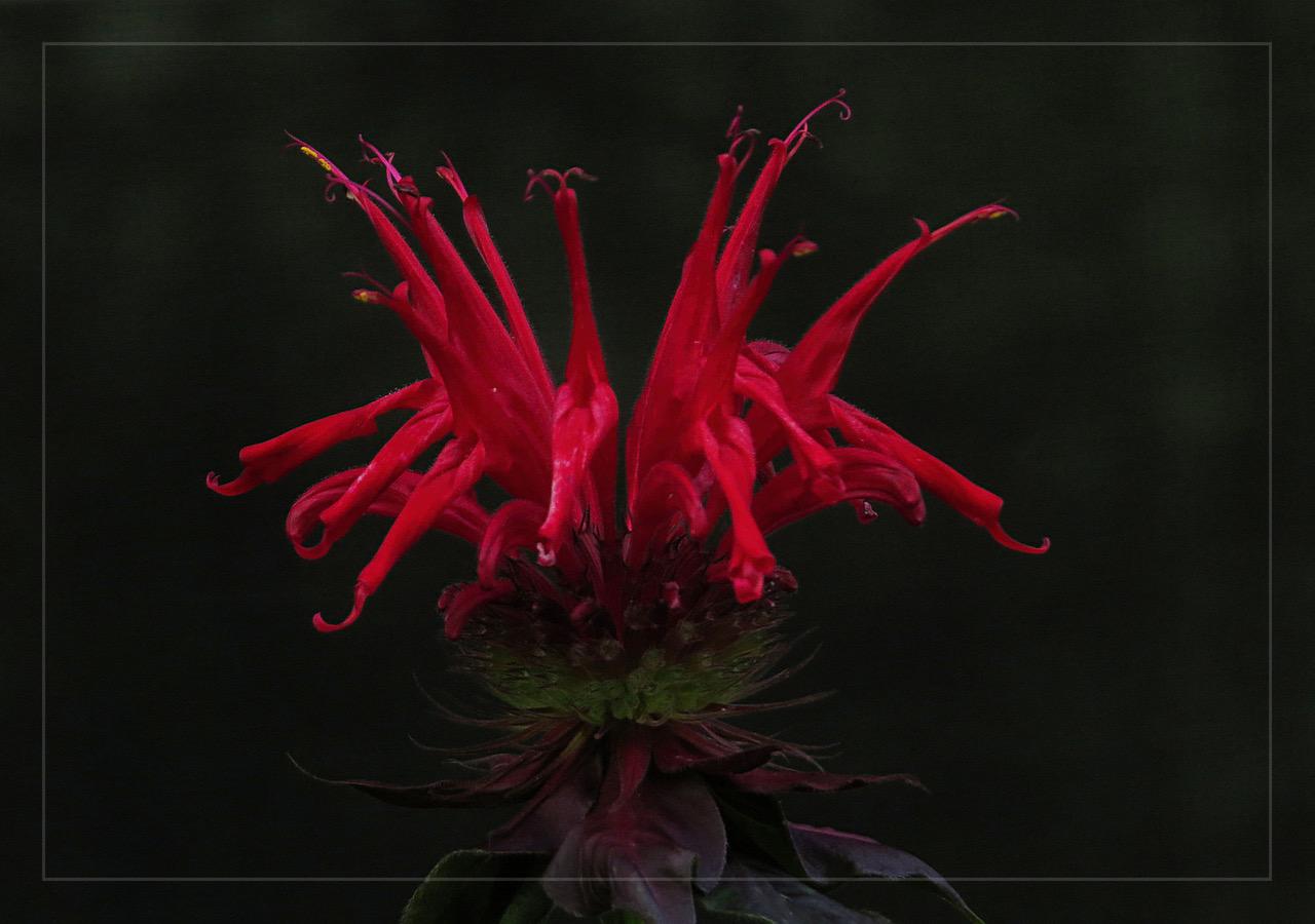 5 Red Hummer Flower.jpeg