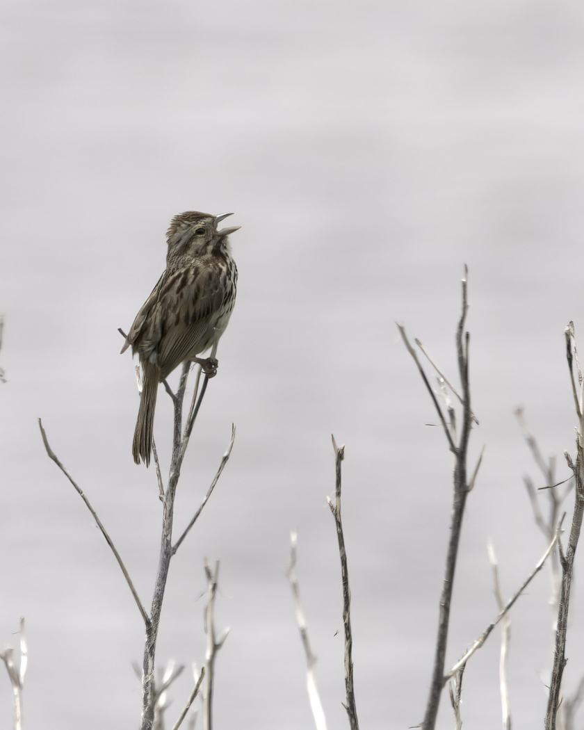 Honorable Mention: Sparrow Song - Lynne Stowe