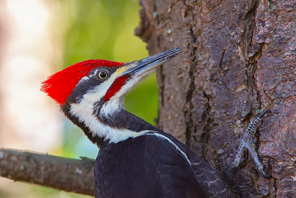 Carpenter Bird. Image from the Audubon Society.