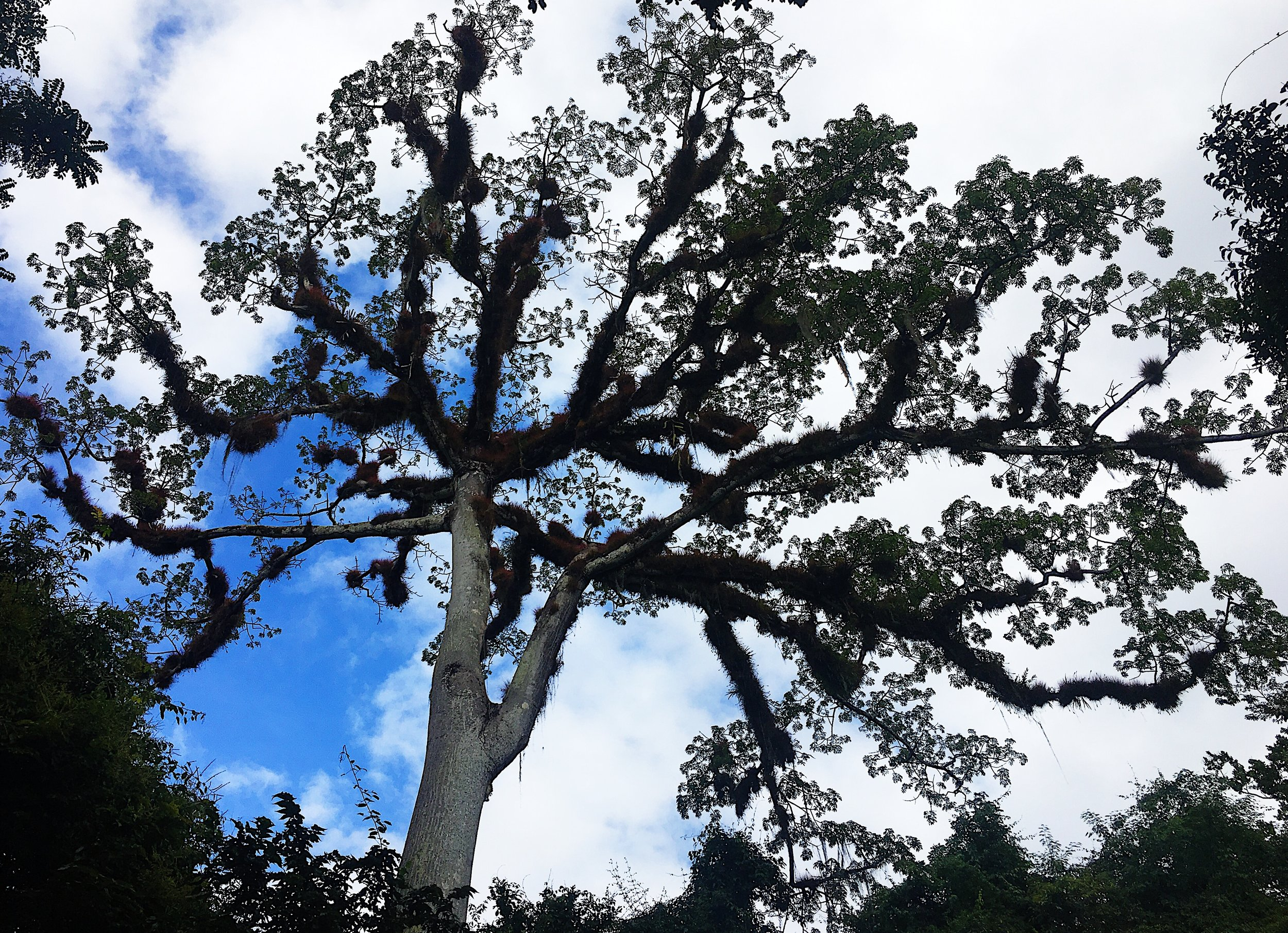 This giant Ceiba Tree greets visitors at the beginning of the trail that leads to the ruins. Photo by Chic Travels.