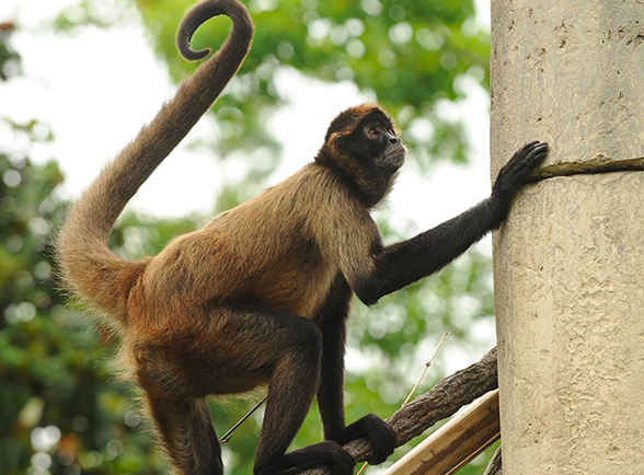 A spider monkey climbing a tree. Image from the Audubon Nature Institute.