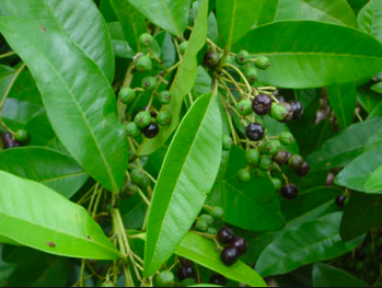 All Spice plant. Image from tradewindfruits.com