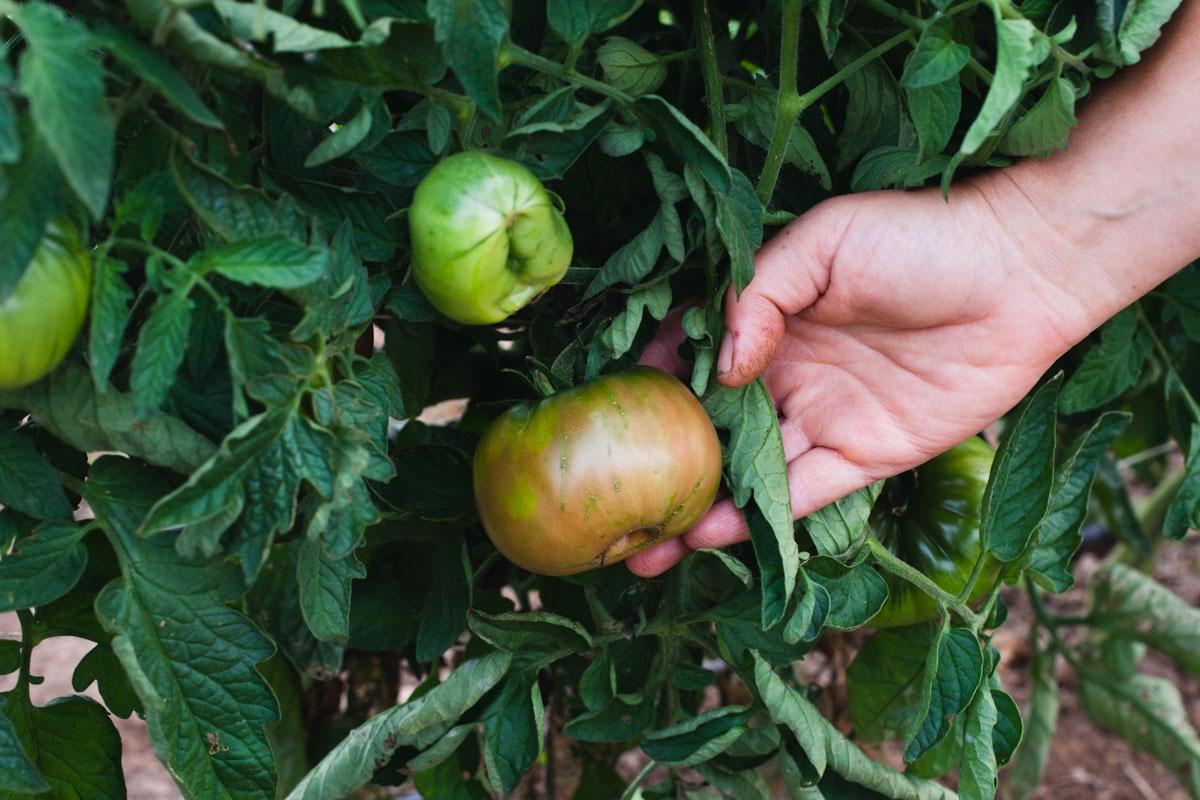 Tomatoes_Growing_003_sRGB.jpg