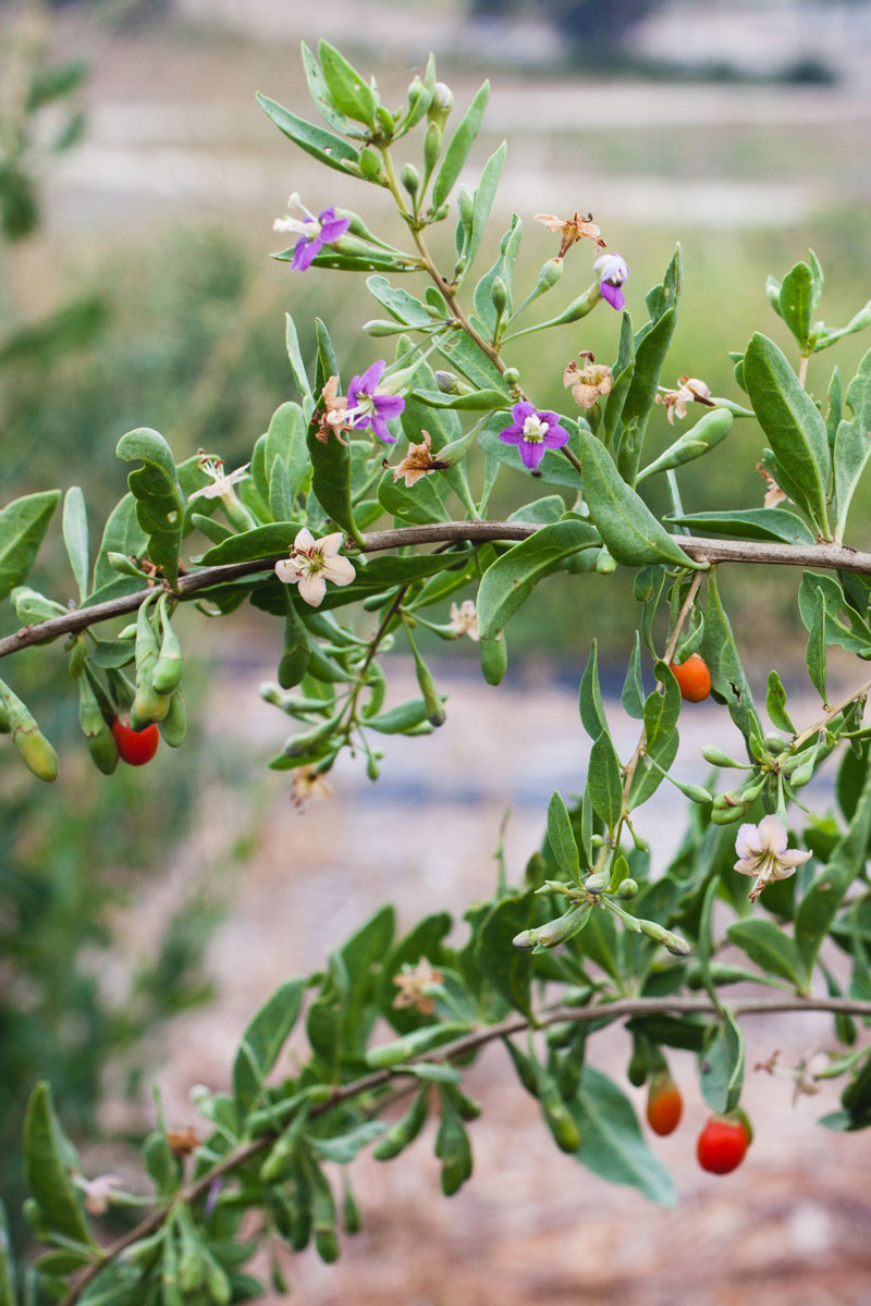 Goji Berries_Growing_006_sRGB.jpg