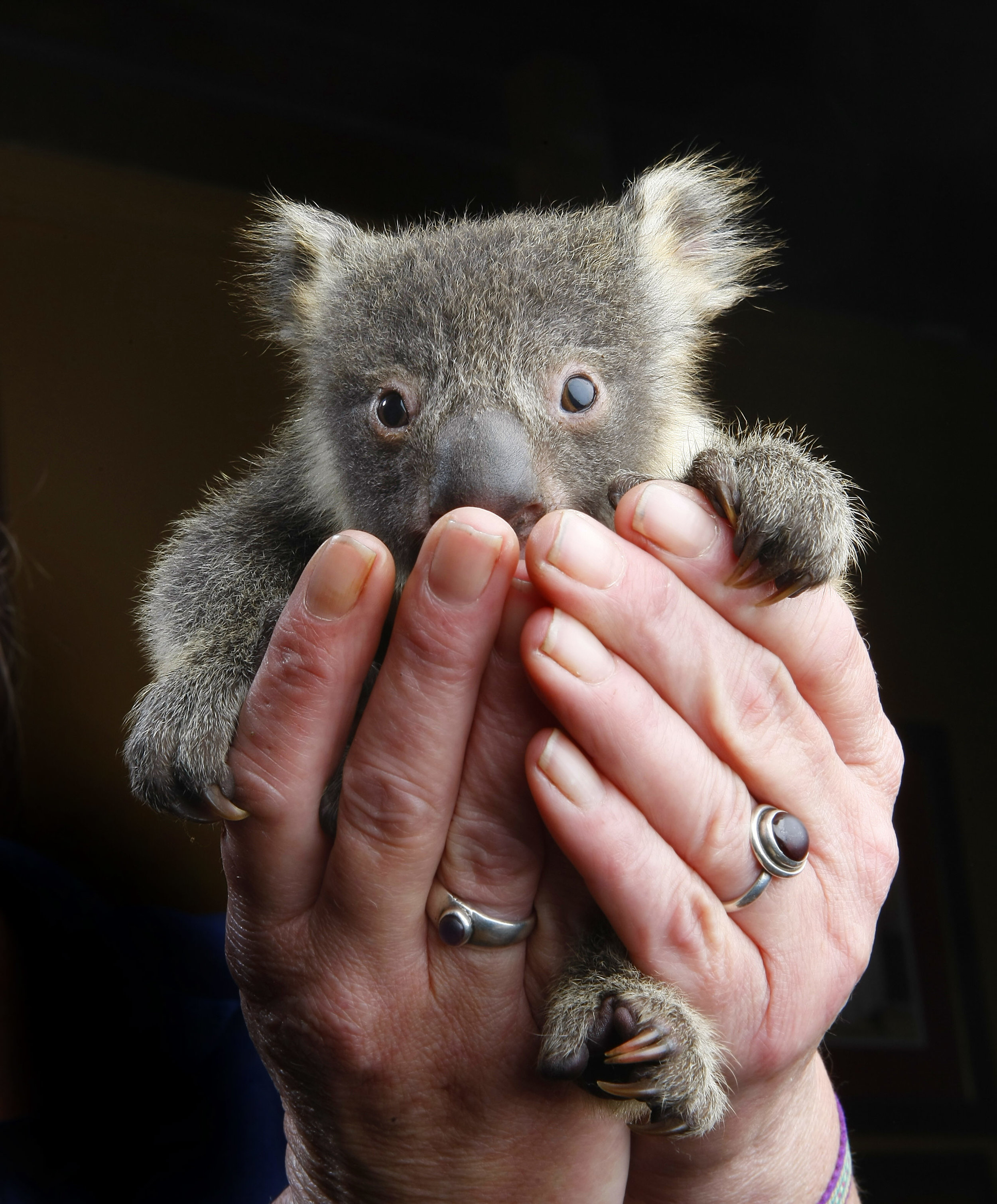 CHP_Export_3345503_Rommy the koala joey is in the care of Linda Healy near Woodend  as his mothe.jpg