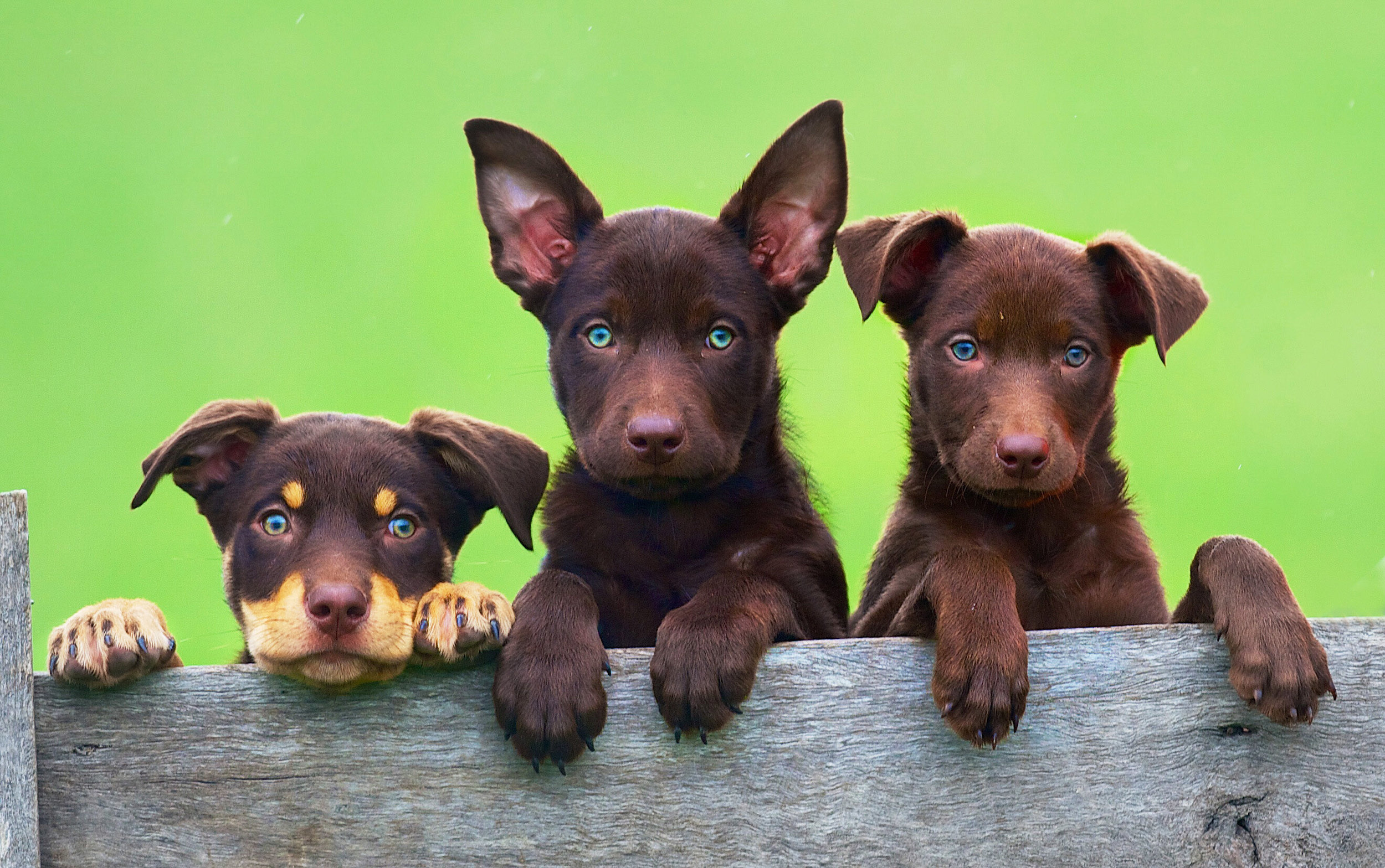 CHP_Export_2838999_Puppies in preparation at the Beloka Sheep dog trials at Welshpool. Contact P.jpg