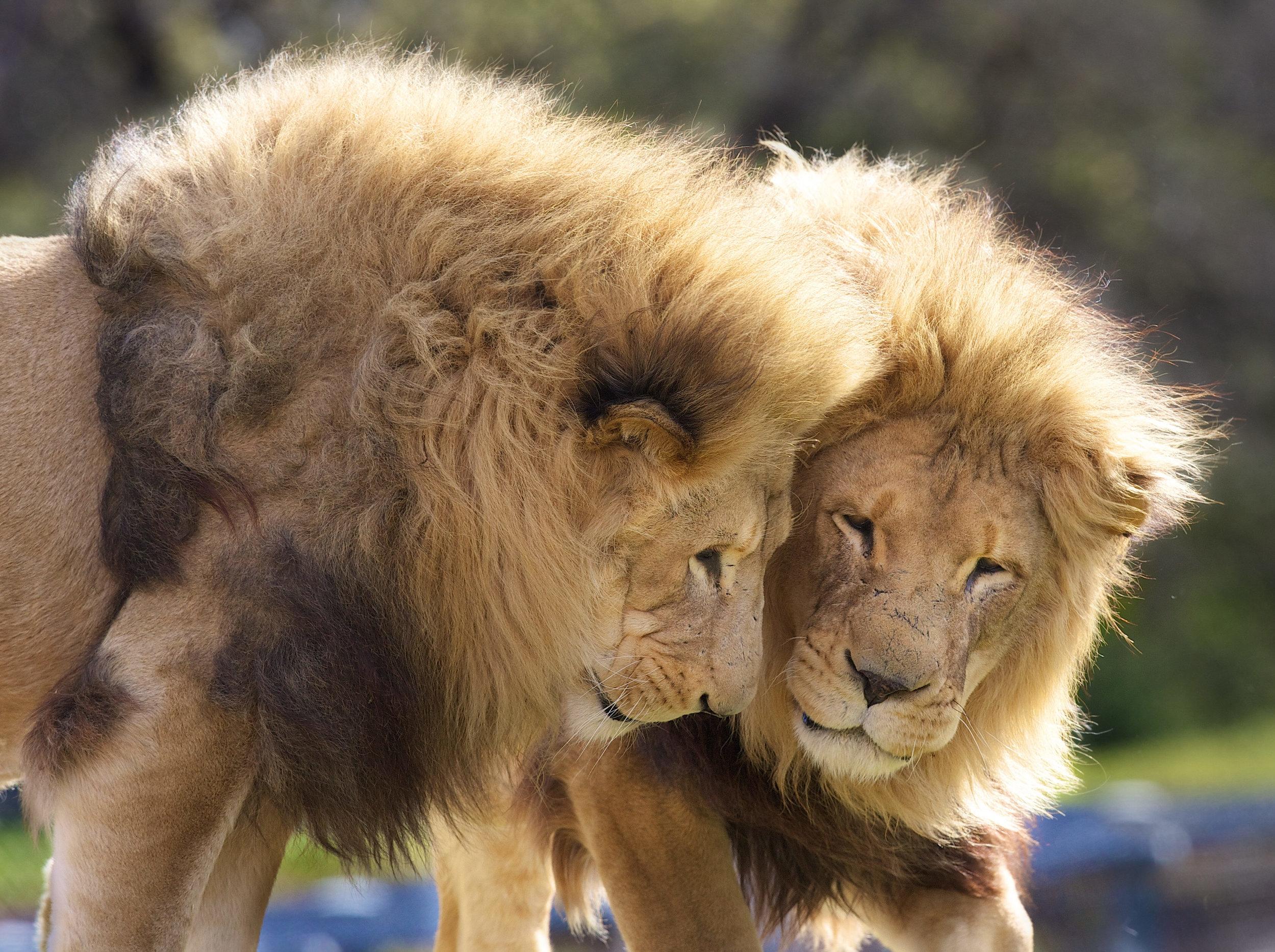 CHP_Export_10096545_Werribee Open Range Zoo Lions Tombo and Tonyl..jpg