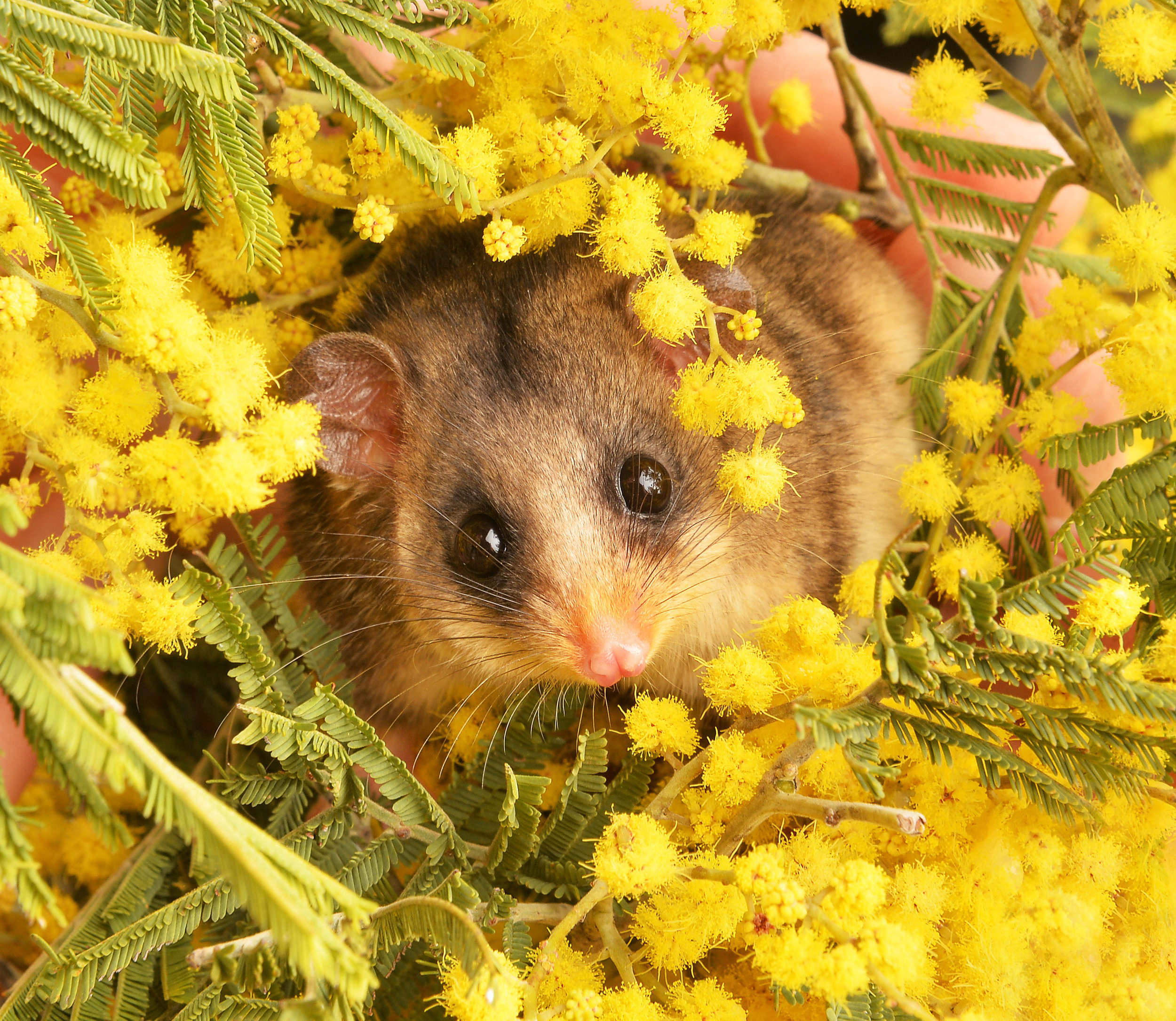 CHP_Export_123517895_Healesville Animals Frankie the Mountain Pygmy Possum enjoys play time enri.jpg