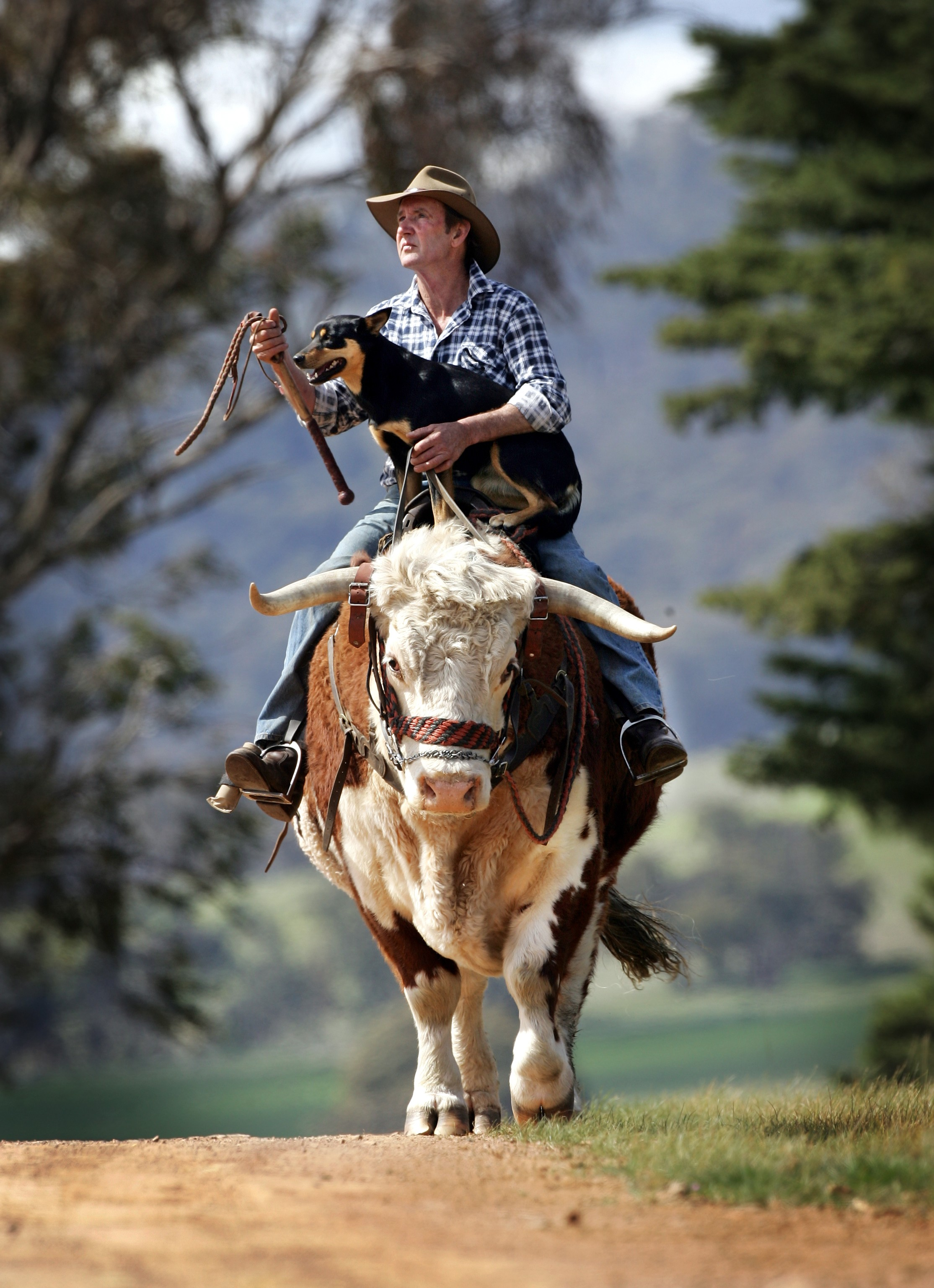 CHP_Export_61609263_John Lovick rides his favourite bullock Johnny with dog Coe in the high Coun.jpg