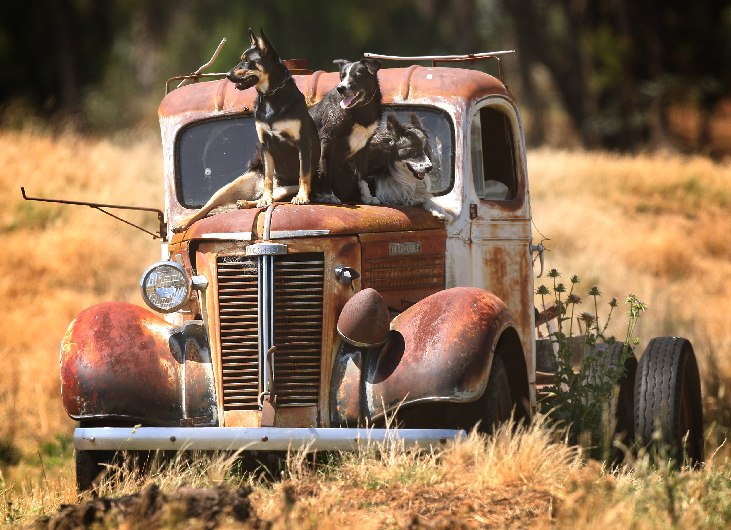 CHP_Export_65168202_HS25  I%27m sure they went this way Sheep dogs on old truck..jpg