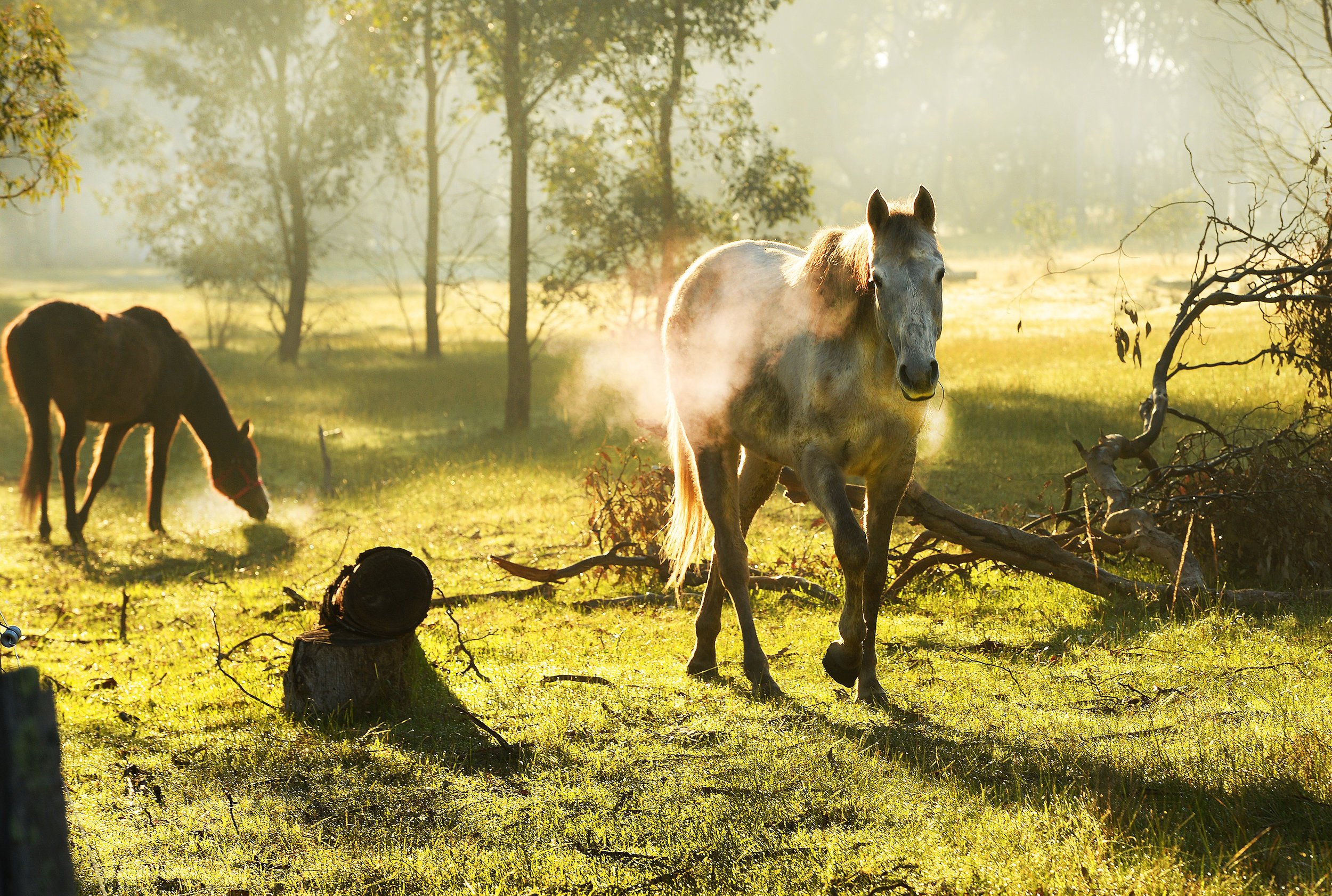 CHP_Export_88729726_Country horses in the early morning fog near Walmer in Central VictoriaPictu.jpg