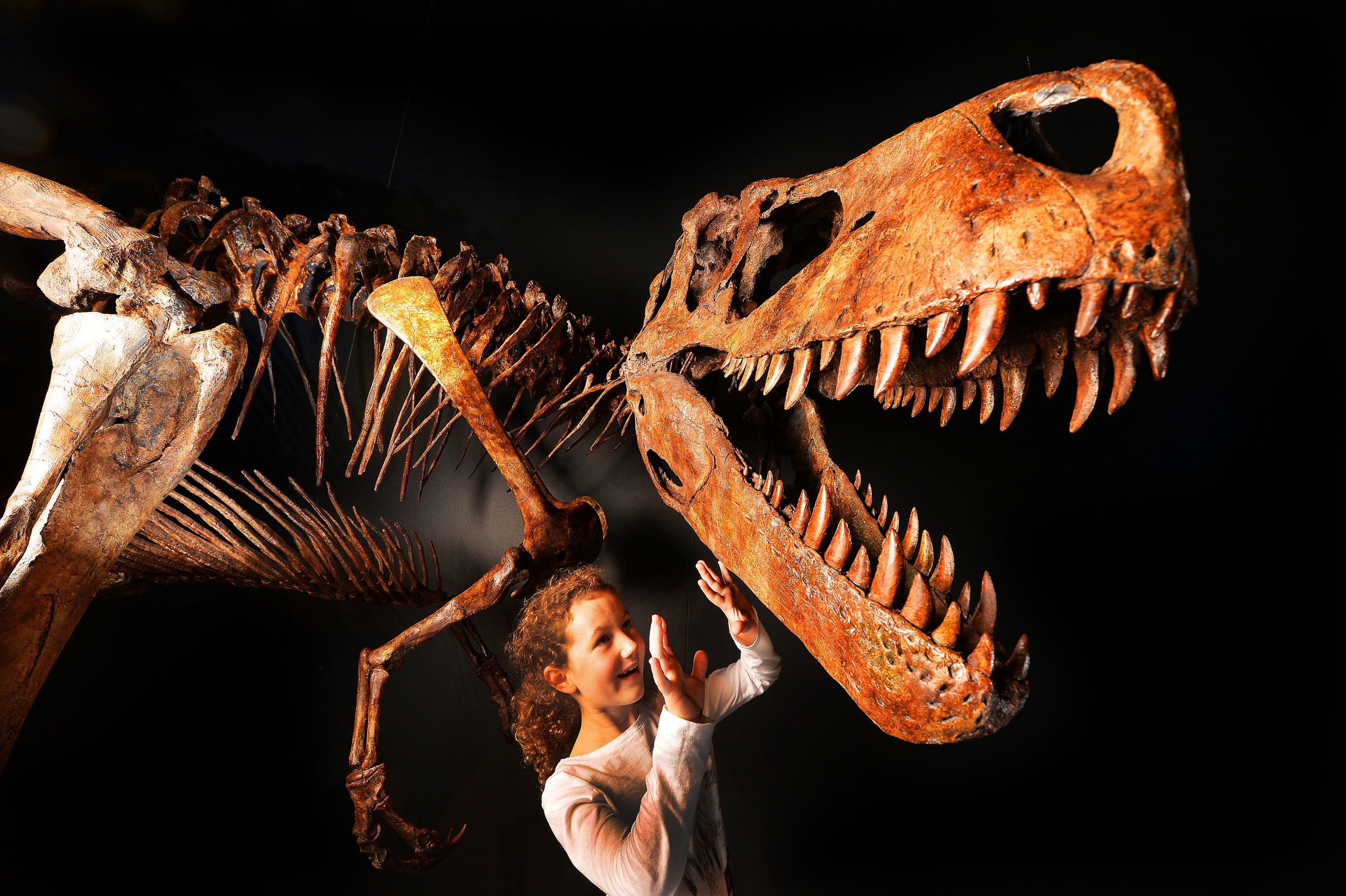 CHP_Export_116506407_Emily Chillcott 7 gets a sneak preview of a Albertosaurus sarcophagus at th.jpg