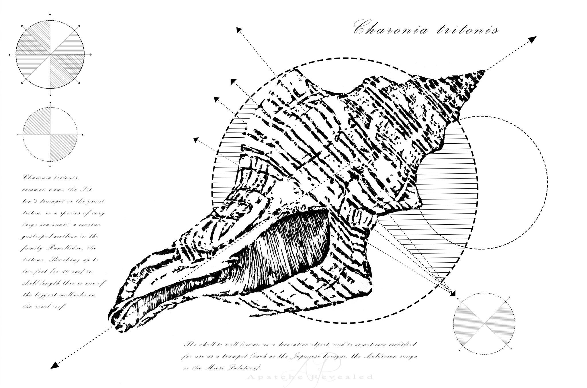 Geometry of a Charonia tritonis