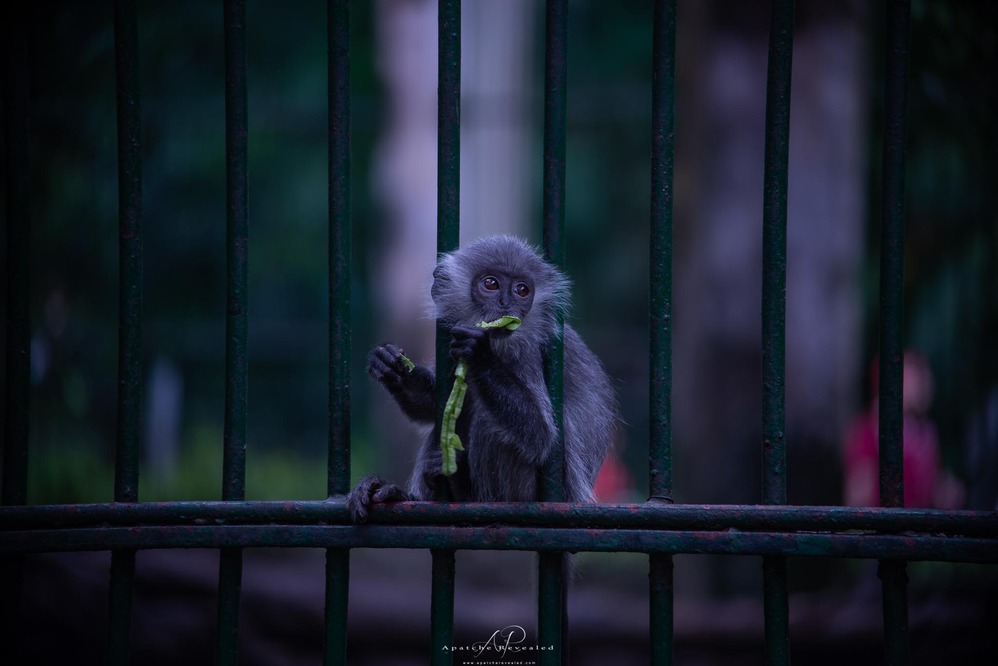 Ho CHi Minh Monkey.jpg