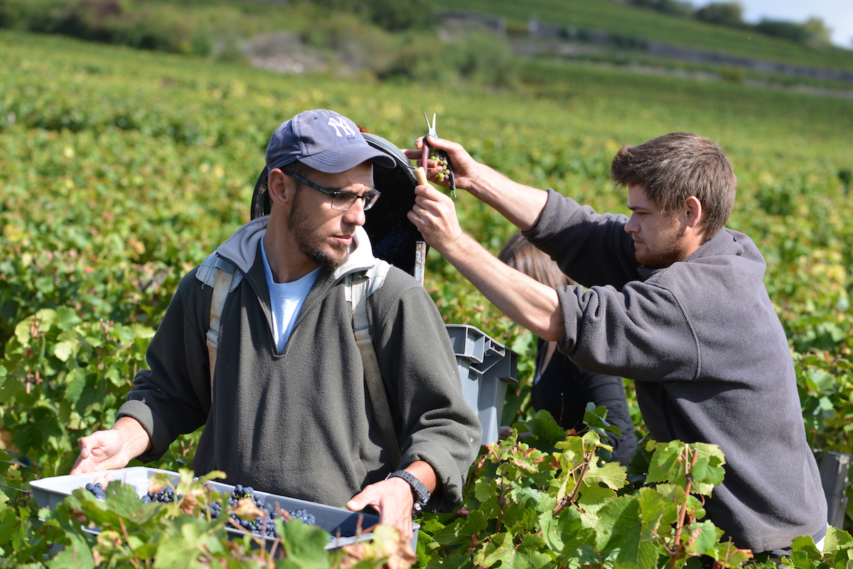 Bringin in the 2017 Lavaux St Jacques in Gevrey