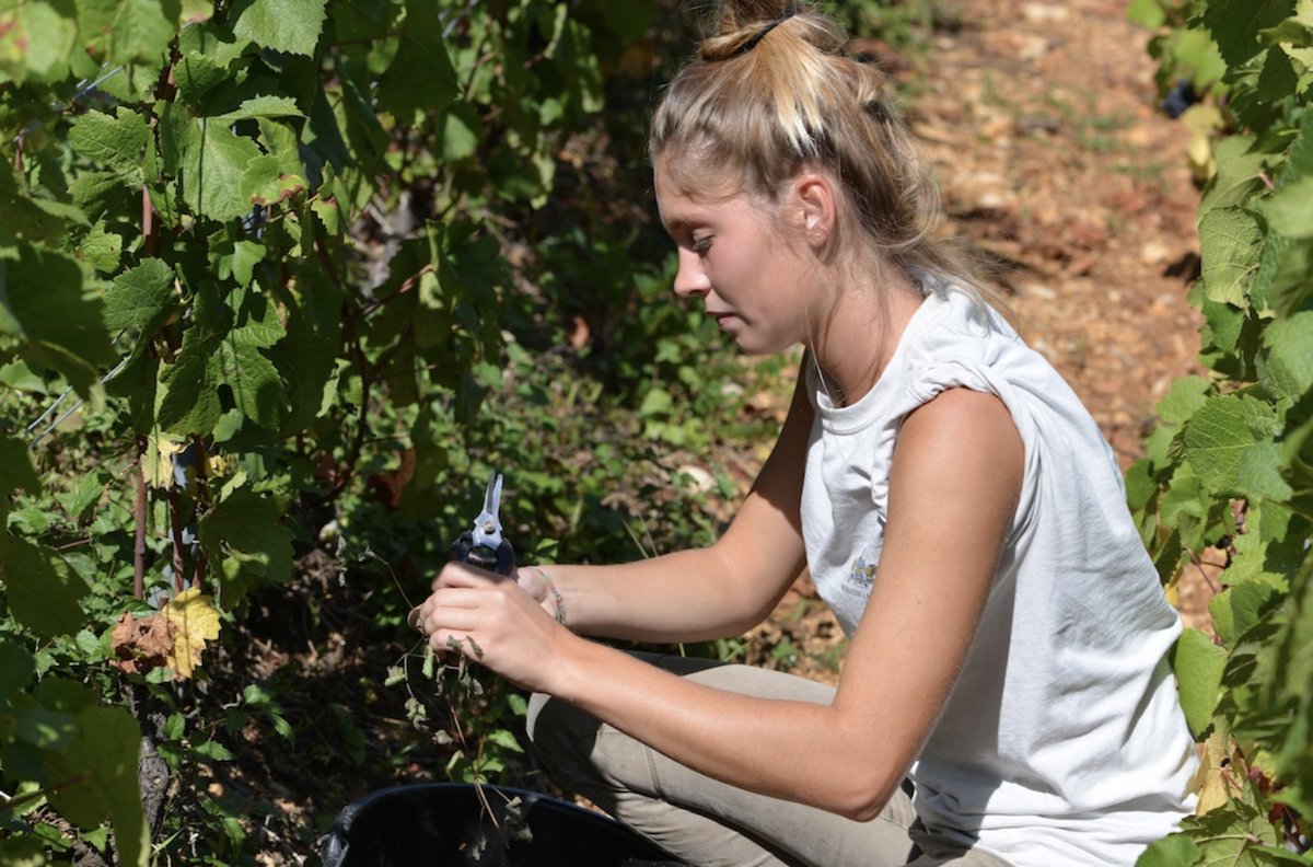 Fanny, daughter of Axelle, getting in the 2017 harvest of Terrasses des Vallerots