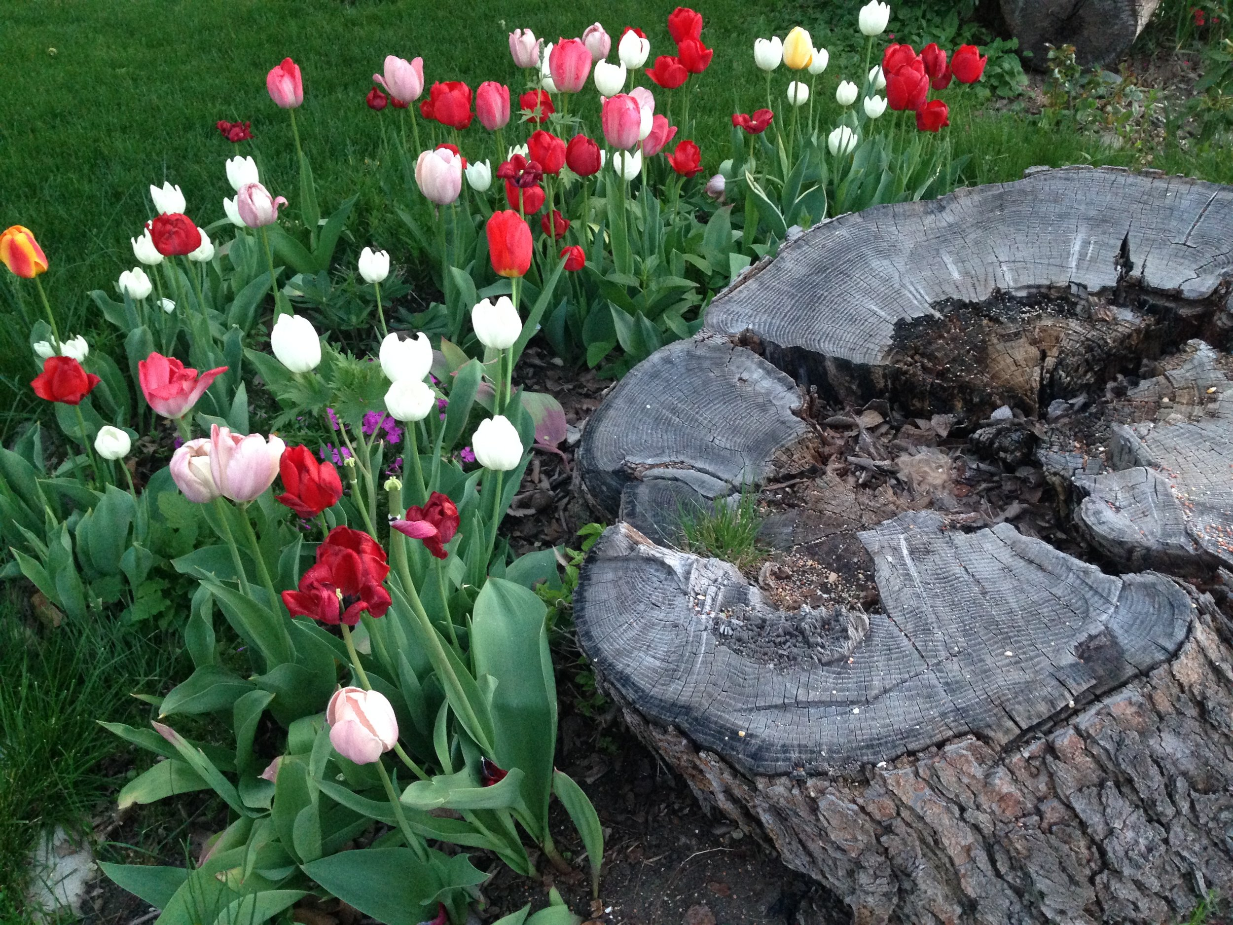 Spring tulips exhibit a desire to grow beside a tree stump in Boise's North End.