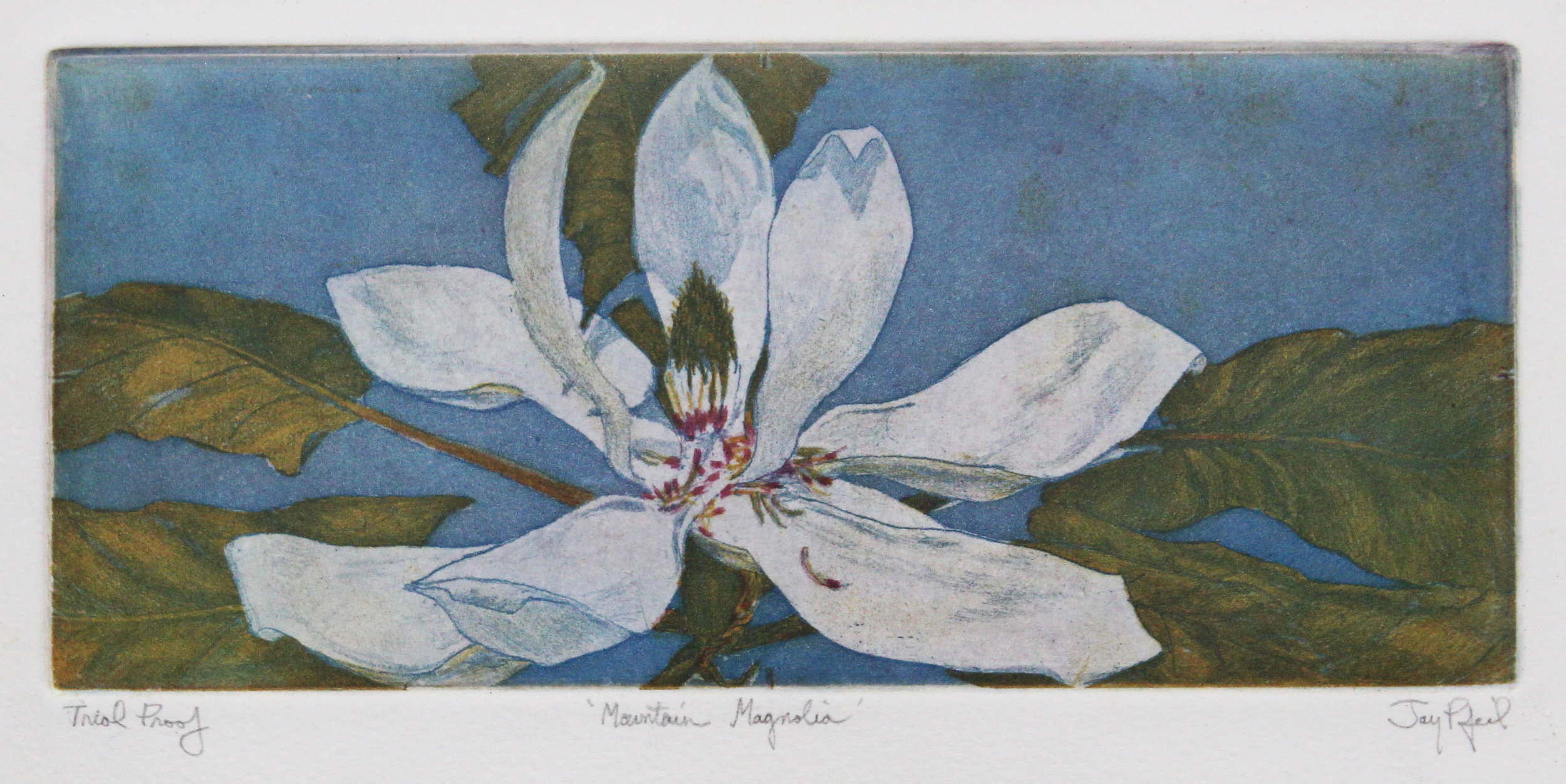 Mountain Magnolia