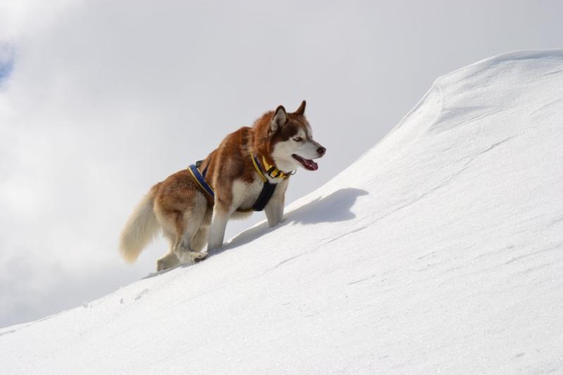 Brown-White_Husky_Climbing.JPG