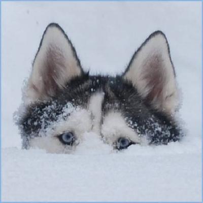 husky up to her eyeballs in snow.jpg