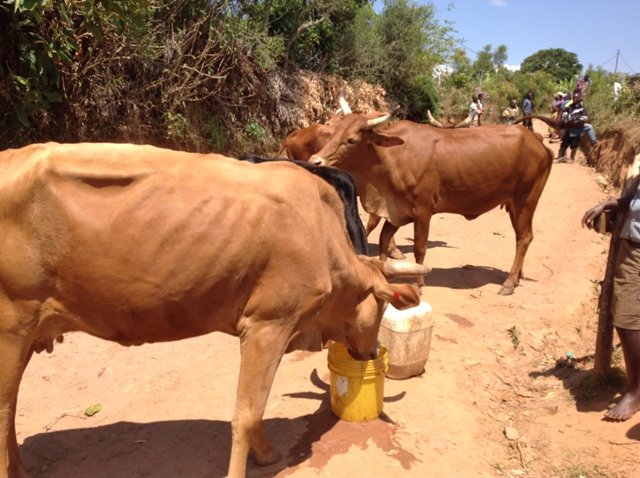 The cows olso drink clean water.JPG