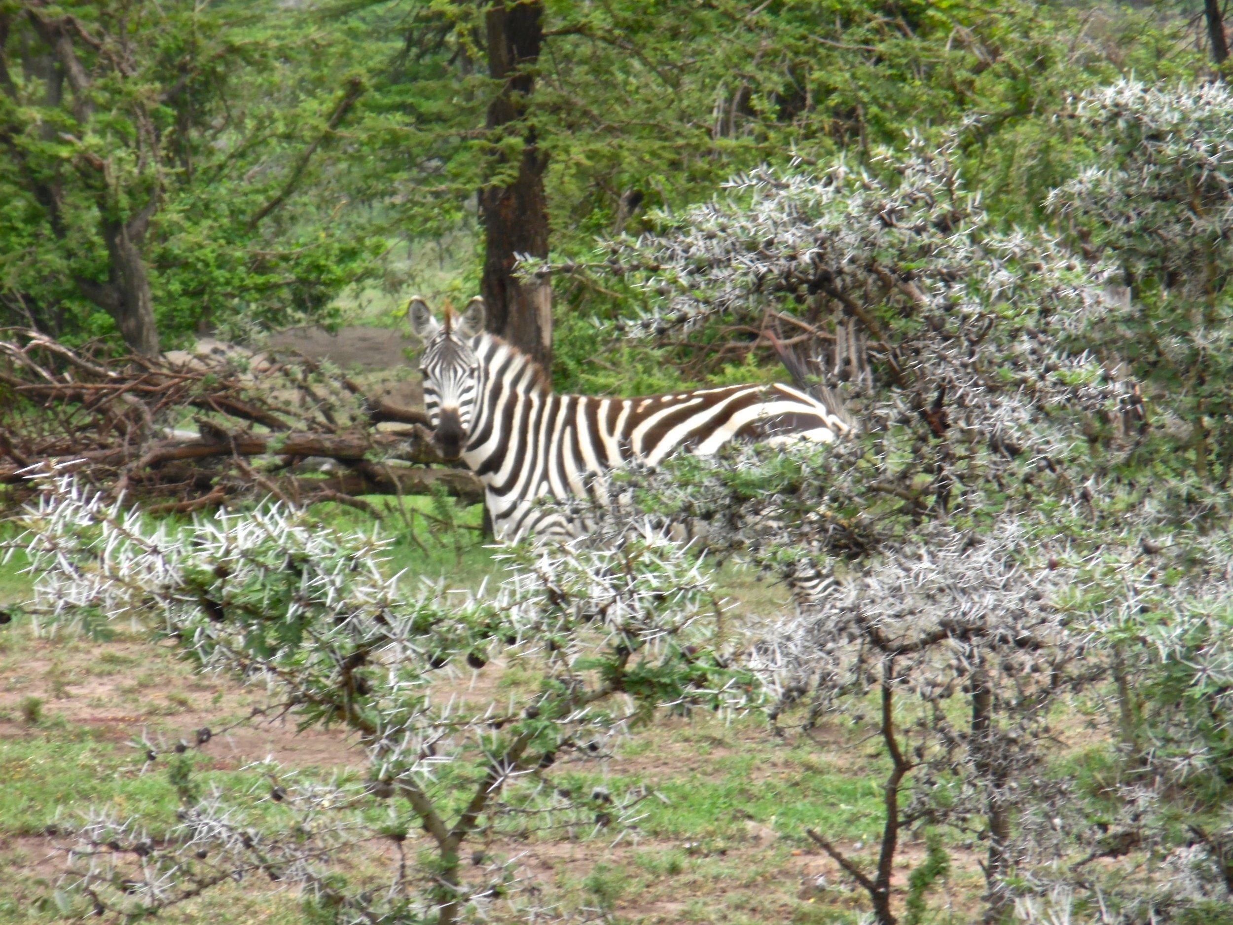 zebra and acacia.jpg
