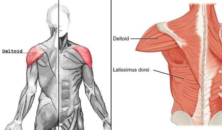Targeting Your Shoulder Muscles - Parts of the Shoulder.jpg