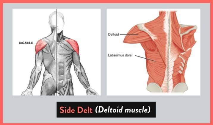 What Is The Side Delt.jpg