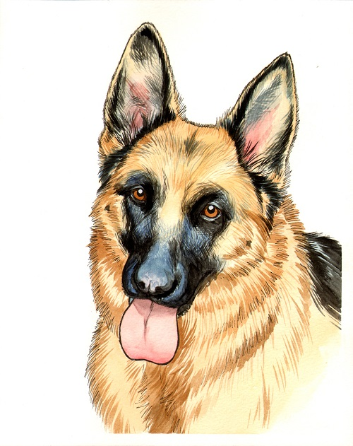 Shepherd - One of 2 commissioned portraits done in pen & ink with water color.2015