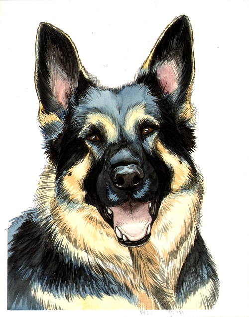 Shepherd 2 - One of 2 commissioned portraits done in pen & ink with water color.2015