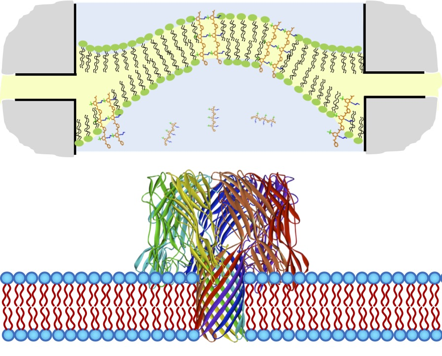 biomolecule-membrane interactions