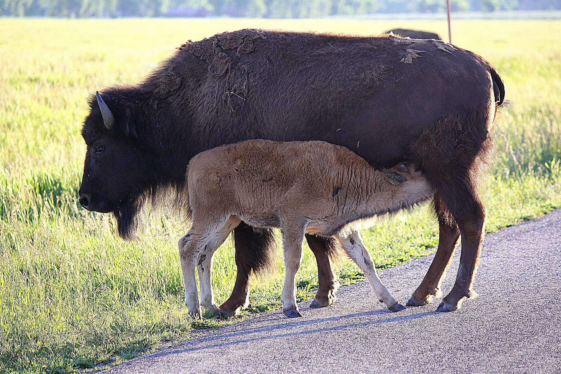 Bison calf and mom, time to eat