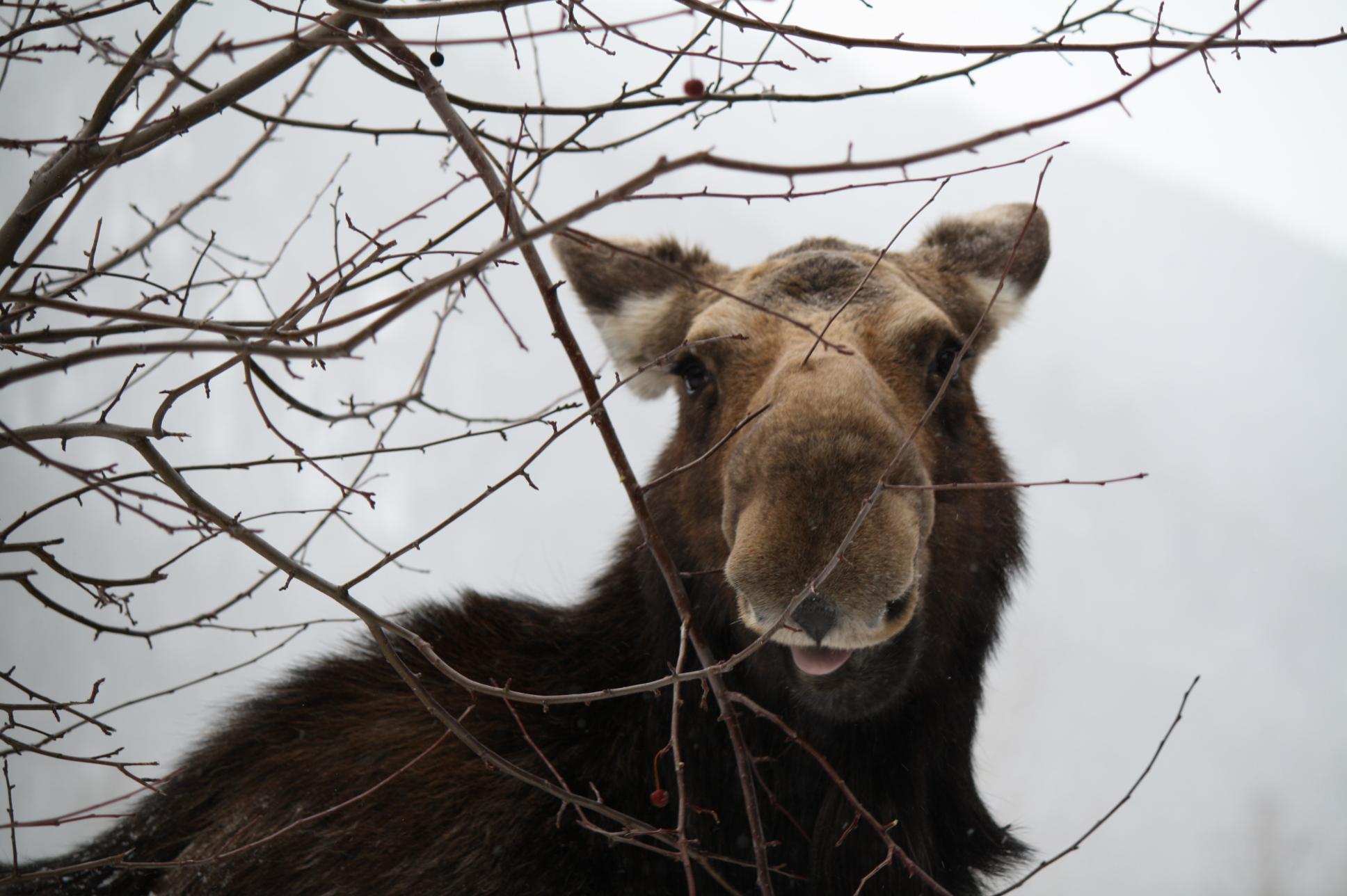 Alces alces - Moose