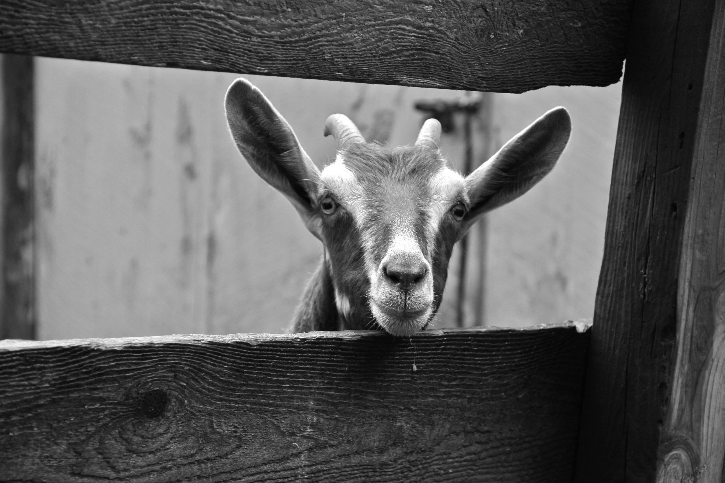 bw goat.jpg