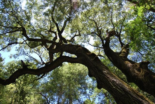 Oak_5.jpg