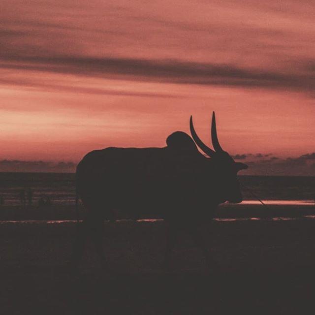 Why I love Sunsets. Porque son  siempre diferentes, y en cada lugar del mundo los colores y la atmósfera son distintos, por ejemplo en el caribe se me hace que es como todo pastel, en Chile lo siento como saturado y colorido , aquí en India es como Intenso.🇮🇳 Creo que es imposible cansarse de mirar un atardecer, te calma, te llena, te lleva a un lugar que sólo en este momento del día eres capaz de sentir. El amanecer y el atardecer son las horas de Dios. ✨ Alguien siente algo parecido? . Sunset in Morjim, Goa, India, con una vaca sagrada playera 🤗 . . . #sacredcow #india #morjim #goa #goasunset #ashtangayogamorjim #sunset #travelindia