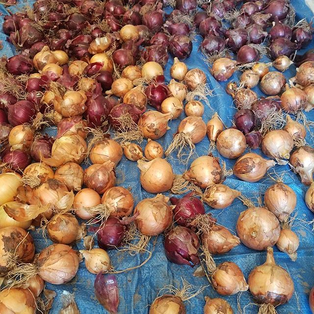 Now that is an onion harvest.  I can't take credit for the harvest, one of my clients, but Johnny will enjoy some these beauties.  I personally don't like onions but they sure look nice... impressive.  #onion #redonion #yellowonion #organicgardening #gardenharvest