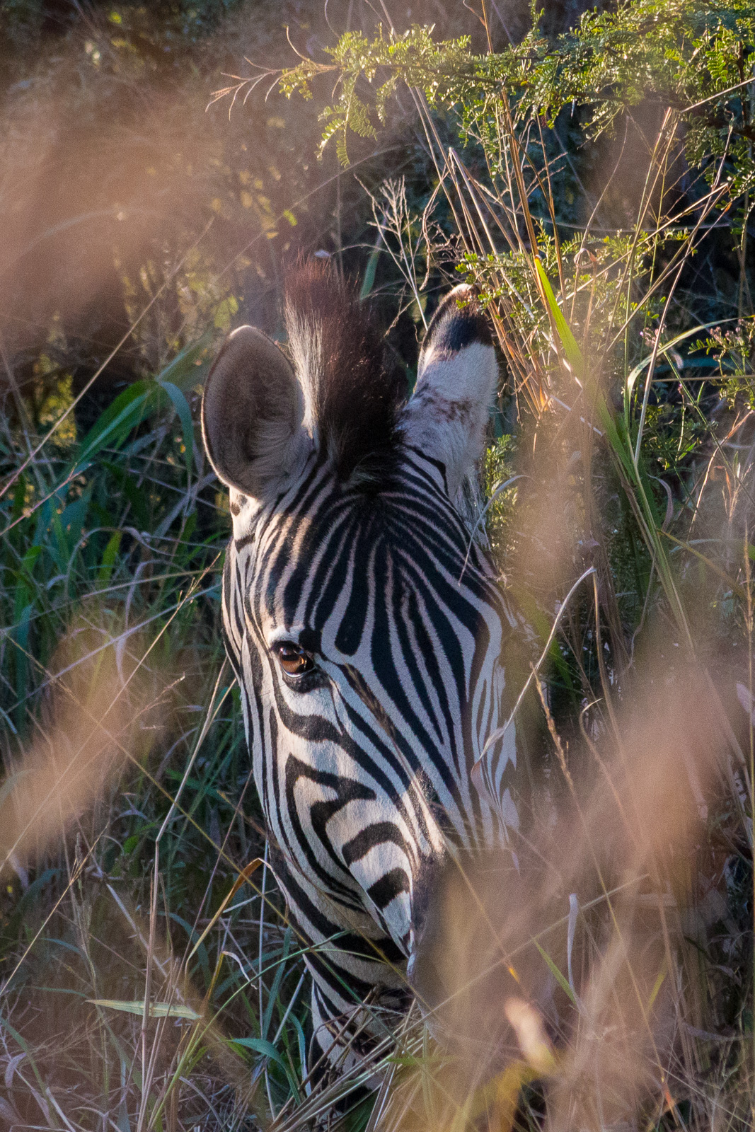 Zebra at dusk from a game drive in South Africa