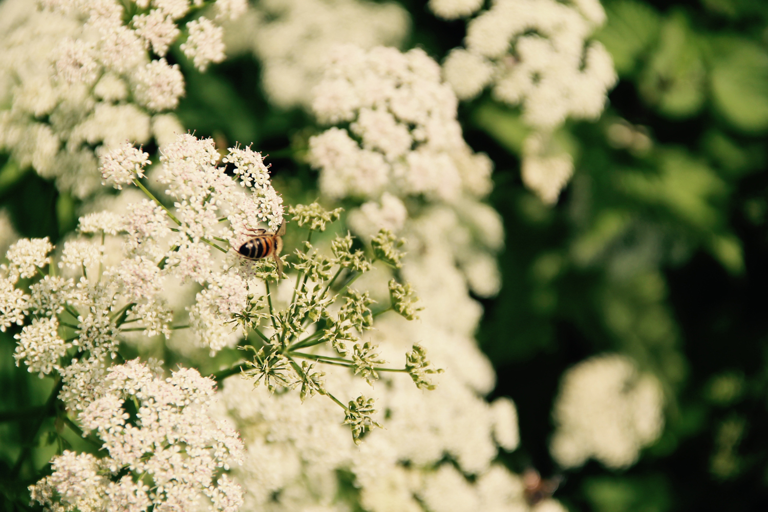 A bee on a cow parsley flower