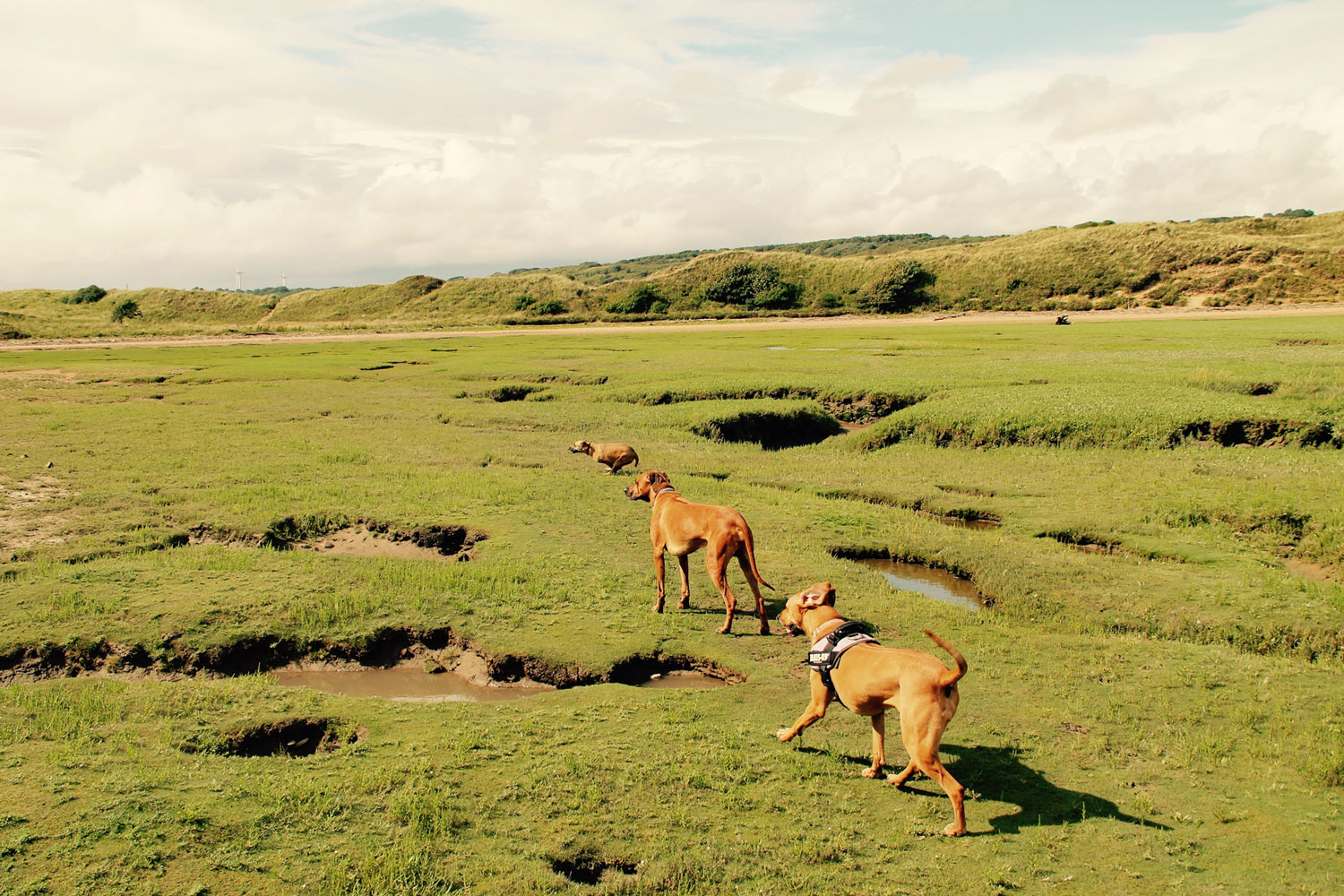 The dogs enjoying the marshes